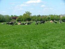 les vaches au pré