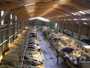 La stabulation des vaches laitières