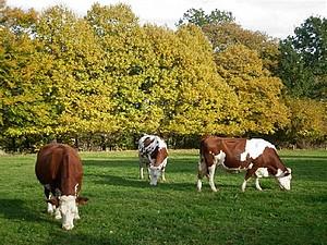 Les vaches laitiers de M. Mme Bidard