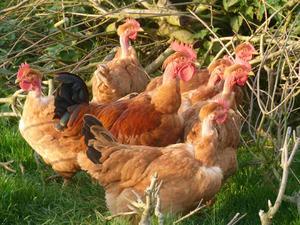 Les poulets de la Fortinière